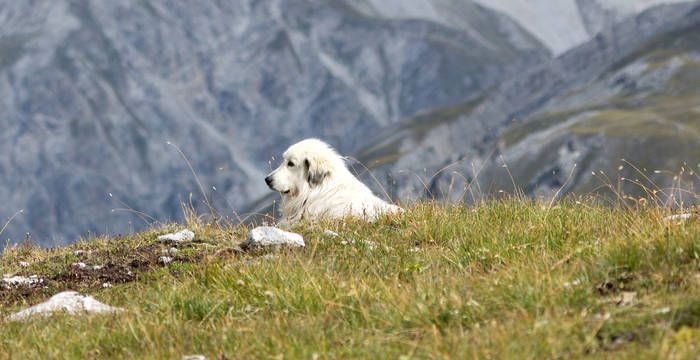 Chien de protection des troupeaux © Luka Tomac / Friends of the Earth Europe