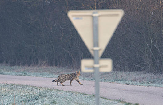 Chat sauvage sur route (© Fabrice Cahez)