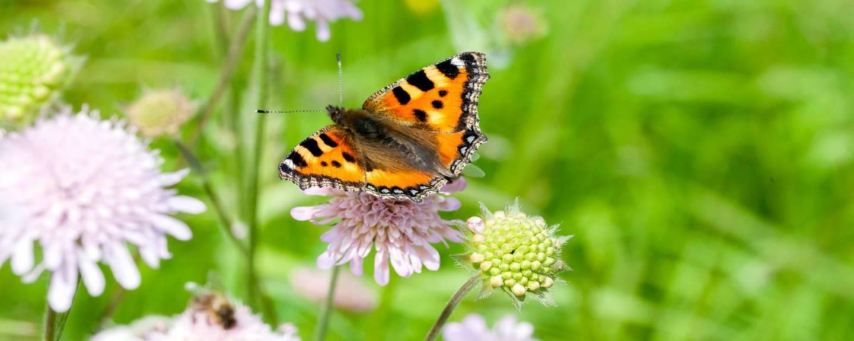 Schmetterlinge f rdern im garten und auf dem balkon pro natura - Einheimische pflanzen im garten ...