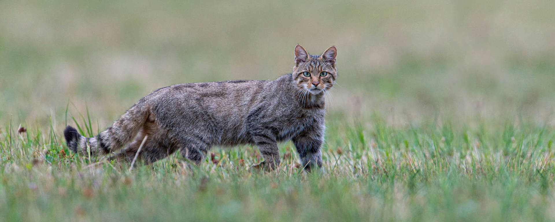 Le Chat Sauvage Est L Animal De L Annee 2020 Pro Natura